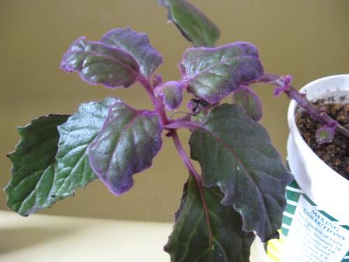 Purple Passion w/Aphids