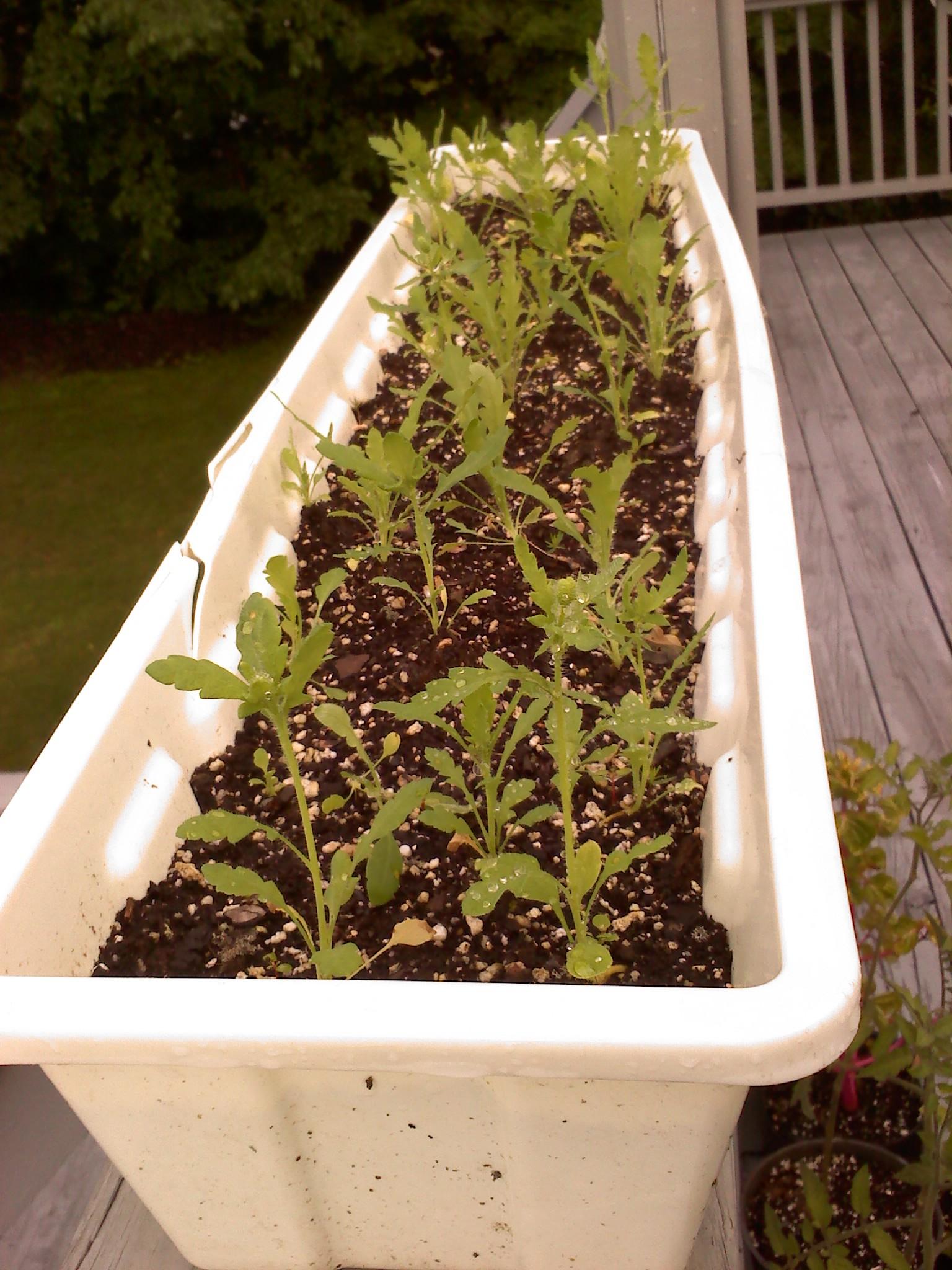 The poppy experiment herbaloo the mightylinksfo