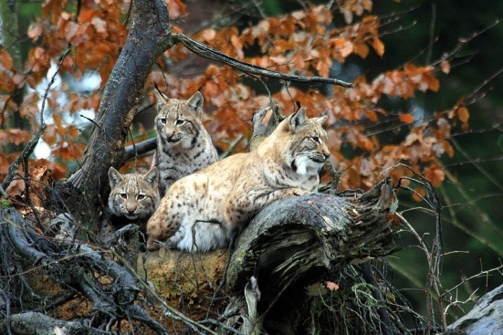 Lynx Family by Guenther Dengler