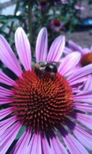 Worker Bee on Echinacea (c) Herbaloo